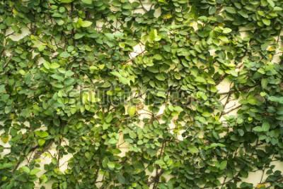 Fototapeta Liść zielona ściana na tle