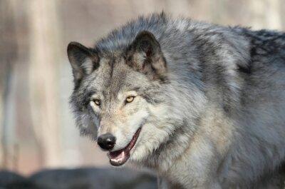 Fototapeta loup gris d Amérique