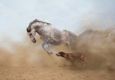 Fototapeta Lusitanian konia