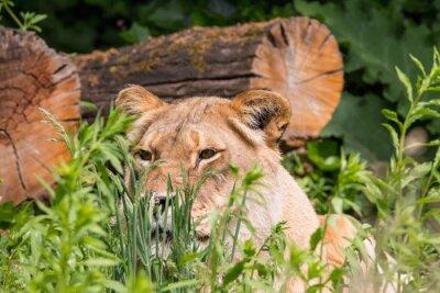 Fototapeta Lwica w trawie