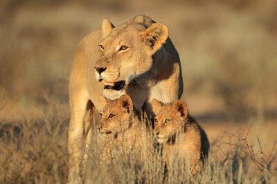 Fototapeta Lwica z młodymi młode Lew (Panthera leo) w świetle wczesnego poranka, Kalahari, Republika Południowej Afryki.