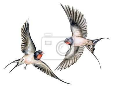 łyk Ptaki W Locie Na Białym Tle Akwarela Ilustracja Szablon
