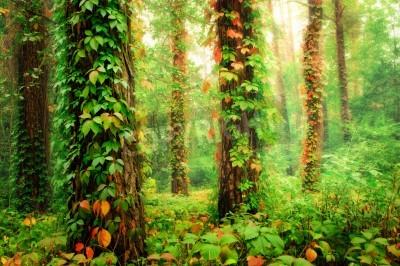 Fototapeta Magiczny las z pniami splecionymi przez kolorowe, dzikie winogrona
