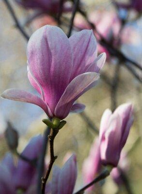 Fototapeta magnolia fleur