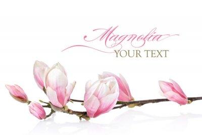 Fototapeta Magnolia kwiat na białym tle