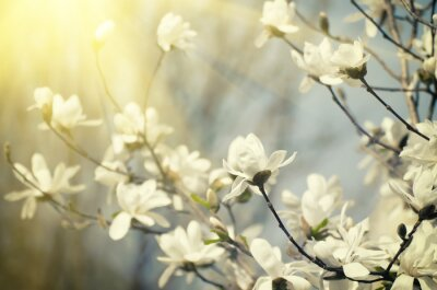 Fototapeta Magnolia kwiaty