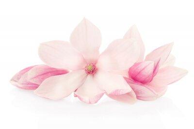 Fototapeta Magnolia, różowe kwiaty i pąki grupa na białym, strzyżenie ścieżka