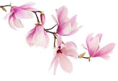 Fototapeta Magnolia różowe kwiaty wiosny oddział