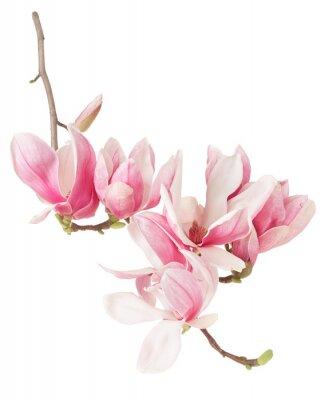 Fototapeta Magnolia, wiosna różowy kwiat oddział i pąki na białym, strzyżenie ścieżka