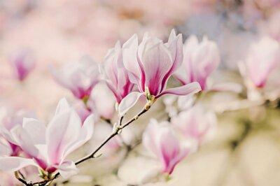 Fototapeta Magnolienblüten