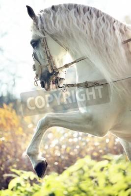 Fototapeta Majestic królewski biały koń w ruchu