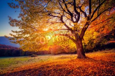 Fototapeta Majestic samodzielnie drzewa bukowego na zboczu wzgórza z belek słonecznych w górskiej dolinie. Dramatyczny kolorowe sceny rano. Czerwone i żółte jesienne liście. Karpaty, Ukraina, Europa. Piękno świa