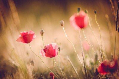 Fototapeta Maki w letniej przyrody dziedzinie z jasnym złotym tle światła / lato / wiosna tła