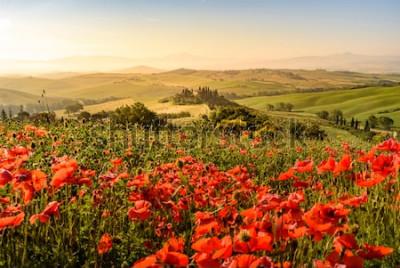 Fototapeta Makowy kwiatu pole w pięknej krajobrazowej scenerii Tuscany w Włochy, Podere belweder w Val d Orcia regionie - podróży miejsce przeznaczenia w Europa