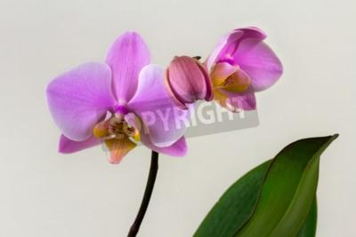 Fototapeta Makro pastelowe orchidea kwiat. Zen w sztuce kwiatów. Makro fotografia natury.