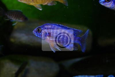 Malawi Pielęgnicowa Ryba W Akwarium Fototapeta Fototapety