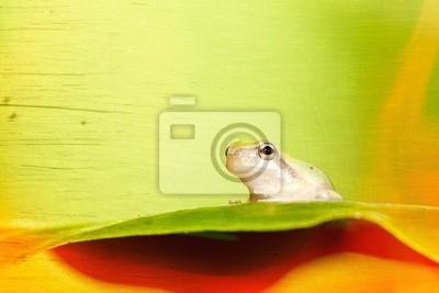 Fototapeta Małe drzewa żaba na liściu (Hyla chinensis)