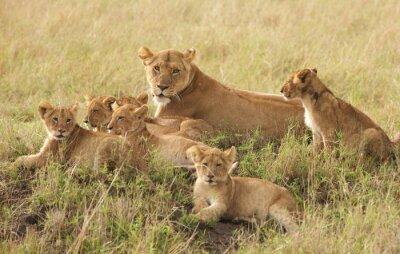 Fototapeta Małe szczeniaki Lion relaks