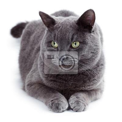 Maltańskie Zielonych Oczach Znany Także Jako Kot Brytyjski Niebieski