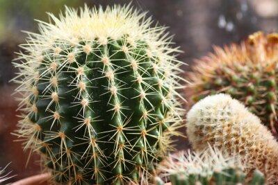 Fototapeta Mały echnicocactus grusonii kaktus siedziba