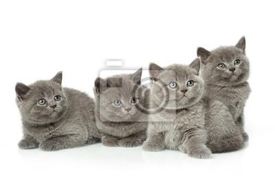 Mały Kot Brytyjski Krótkowłosy Niebieski Kocięta Fototapeta