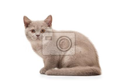 Mały Kotek Brytyjski Liliowy Na Białym Tle Fototapeta Fototapety