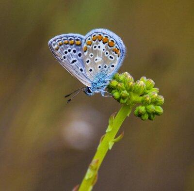 Fototapeta mariposa azul en la Flor