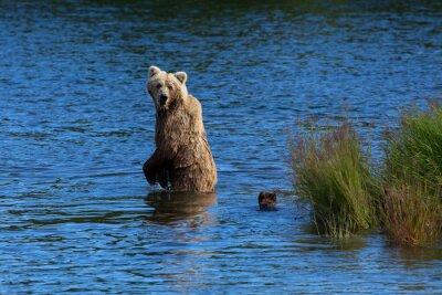 Fototapeta Matka brunatny spogląda wstecz, aby sprawdzić jej młodych podczas przekraczania Brooks River, Katmai National Park, Alaska