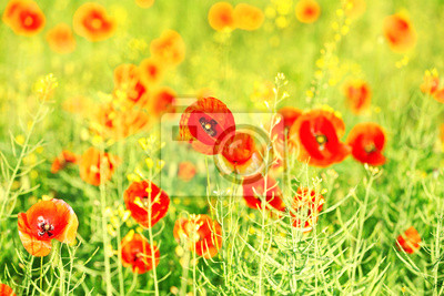 Fototapeta Meadow with beautiful bright red poppy flowers in spring