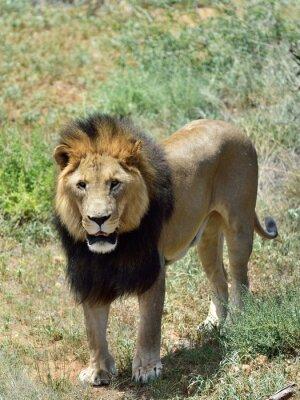 Fototapeta Mężczyzna lew, Namibia