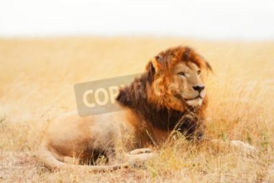 Fototapeta Mężczyzna lwa leżącego na trawie o zachodzie słońca w Masai Mara, Kenii