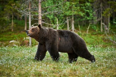 Fototapeta Mężczyzna niedźwiedź brunatny