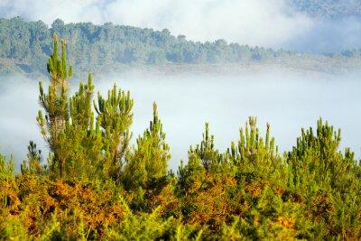 Fototapeta Mglisty krajobraz z lasu sosnowego