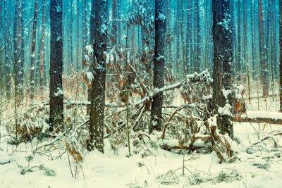 Fototapeta Mglisty las sosnowy pokryte pierwszy śnieg