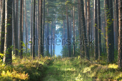 Fototapeta Mglisty wschód słońca w lesie liściastym na Łotwie.