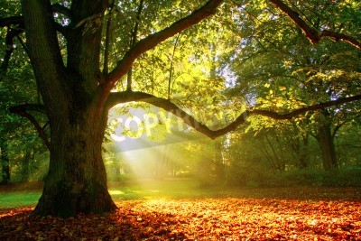 Fototapeta Mighty dębowe drzewo