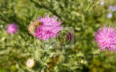 Fototapeta Miodowe polinate flower