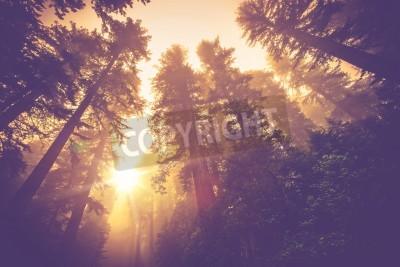 Fototapeta Misty Forest Trail. Magia Redwood leśnej scenerii w Warm Vintage korekcja kolorów.