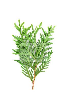 Młoda kapusta zielonej thuja lub arborvitae samodzielnie na białym tle.