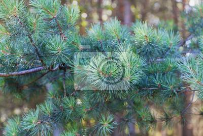 Młoda sosnowych gałęzi w lesie iglastym.
