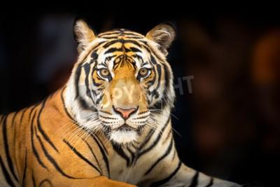 Fototapeta Młoda tygrysa syberyjskiego na ciemnym tle w działaniu patrząc do kamery