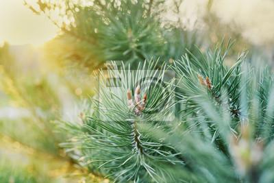 młode pędy gałęzi sosny w złotym świetle słońca, piękna krajobrazu charakter