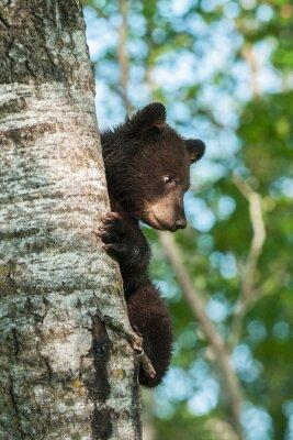 Fototapeta Młody niedźwiedź czarny (Ursus americanus) z boku drzewa
