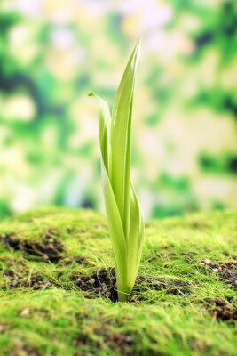 Fototapeta Młodych główką na wiosnę, zbliżenie