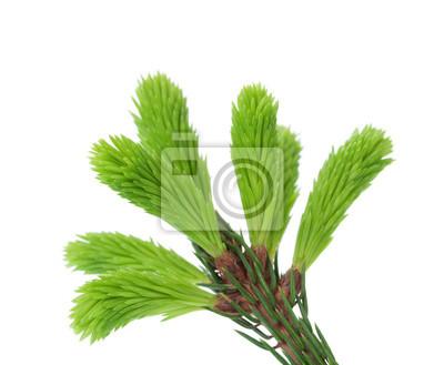 Młodych główką świerka na białym tle, zielone końcówki