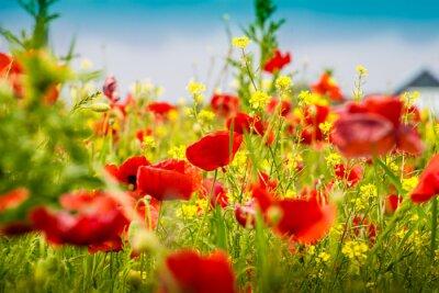 Fototapeta Mohnblumen - Poppy Pole