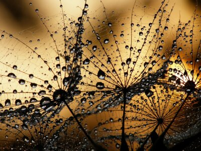 Fototapeta mokre nasiona dmuchawca