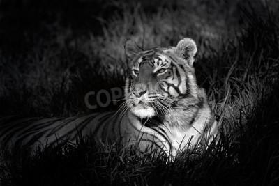 Fototapeta Monochromatyczny obraz Tygrys bengalski (Panthera Tigris bengalensis) niosek w trawy