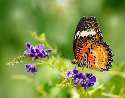 Fototapeta Motyl na fioletowy kwiat
