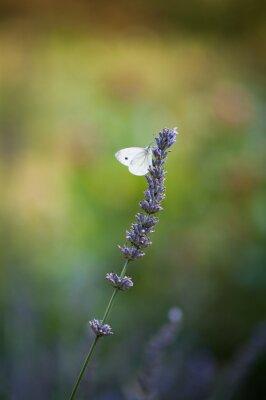 Fototapeta Motyl na lawendzie